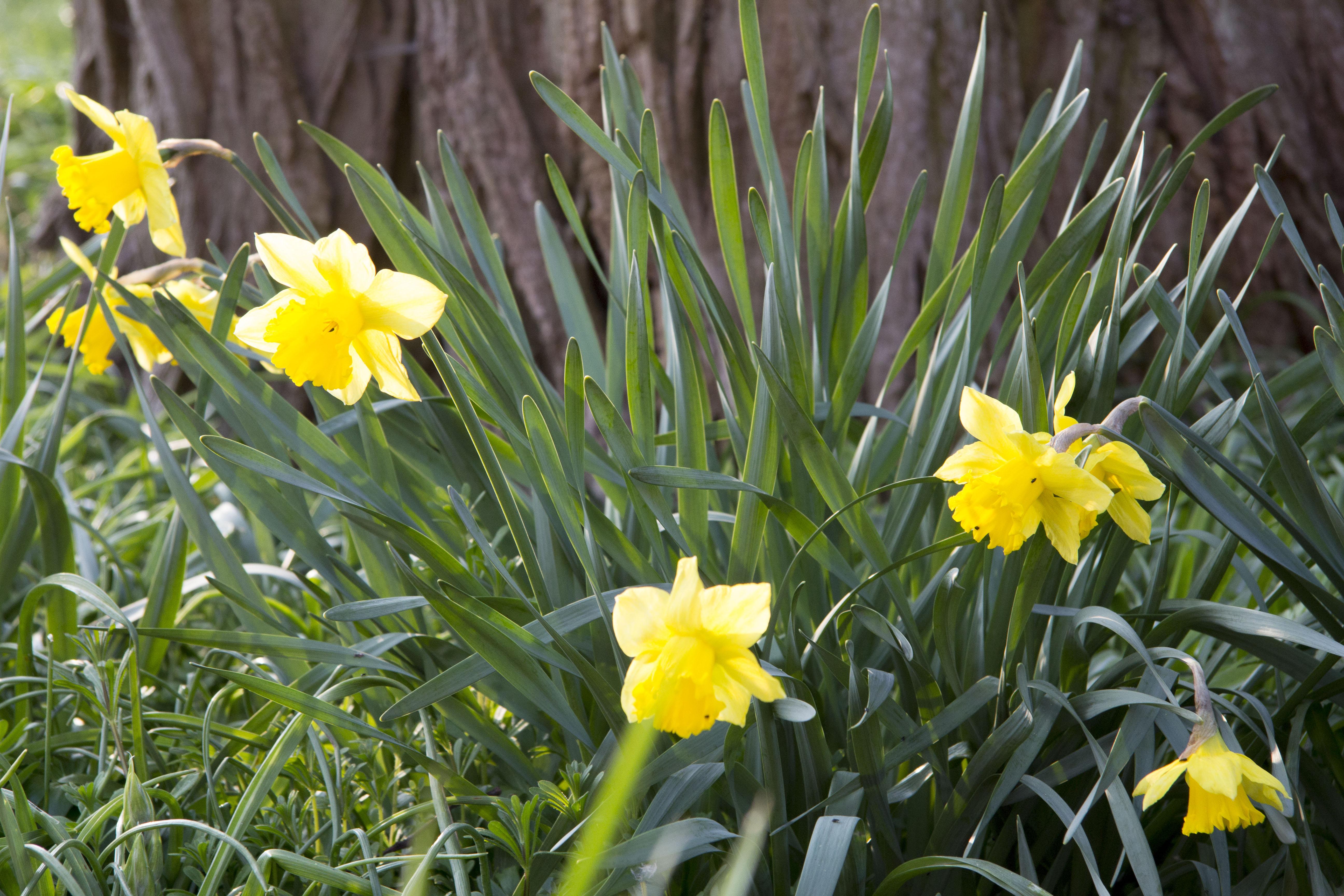 påskeliljer i fuldt flor i vores store have i Vemmetofte